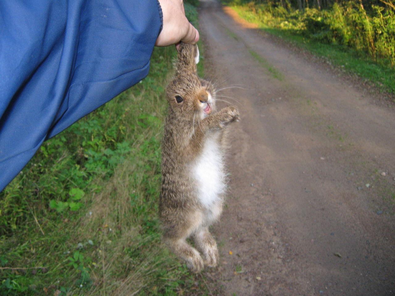 чем ловят зайцев летом