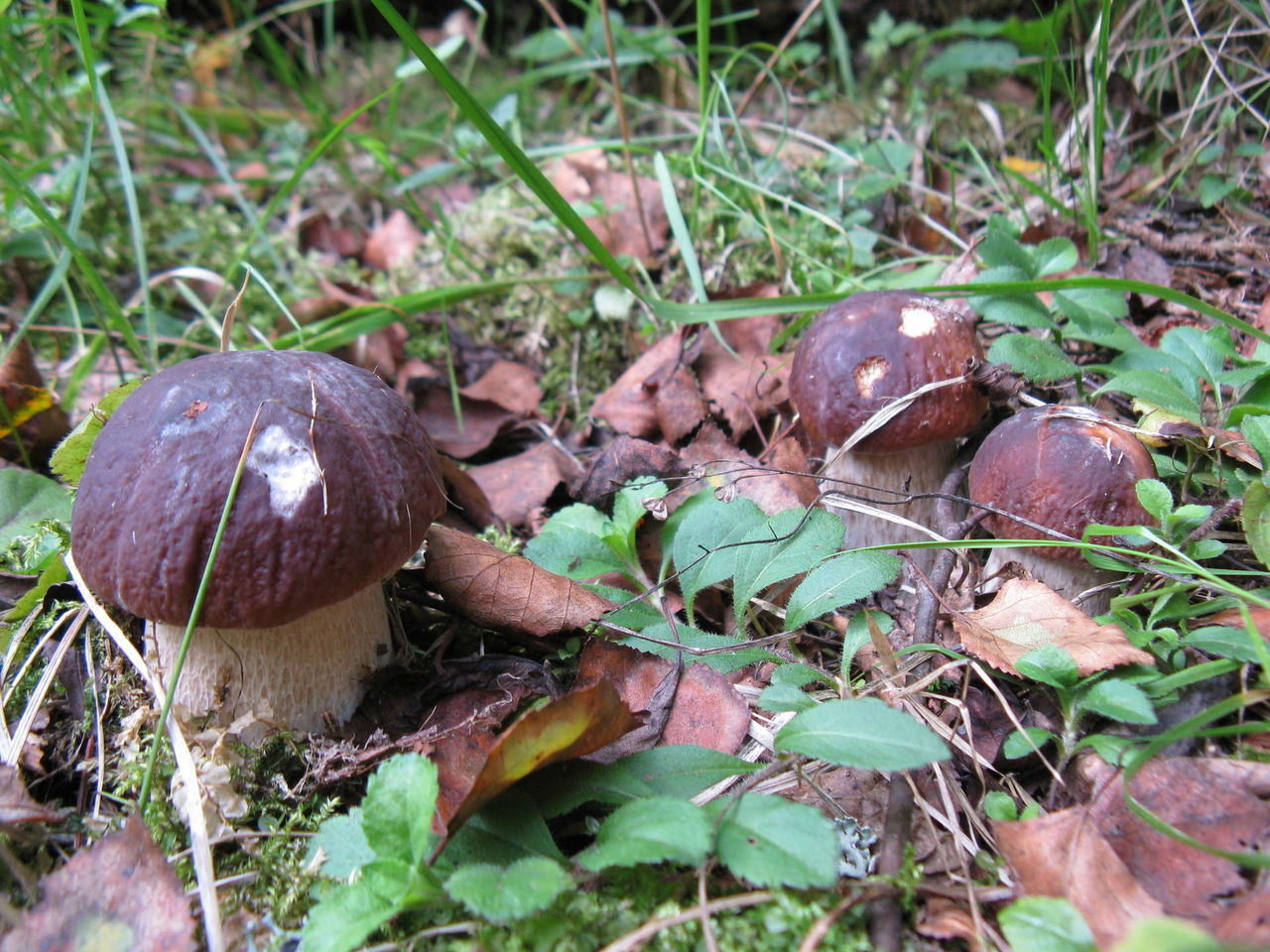 Фото название грибов хищников 3