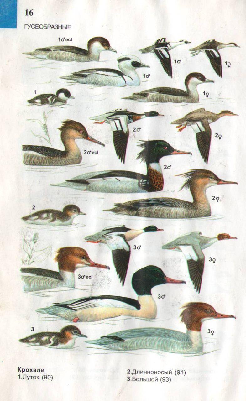 ложка водоплавающей птицы картинки с названиями бесплатно открытку днем
