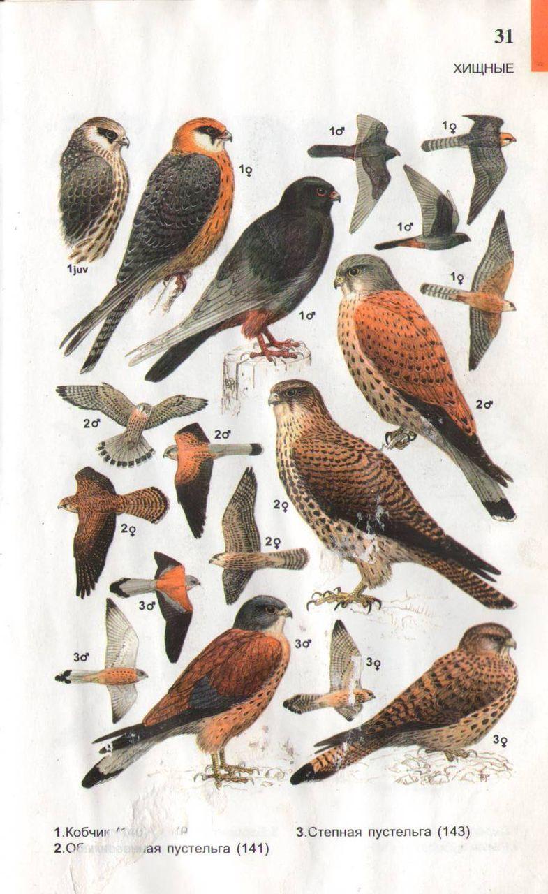 Лесные птицы россии с названиями