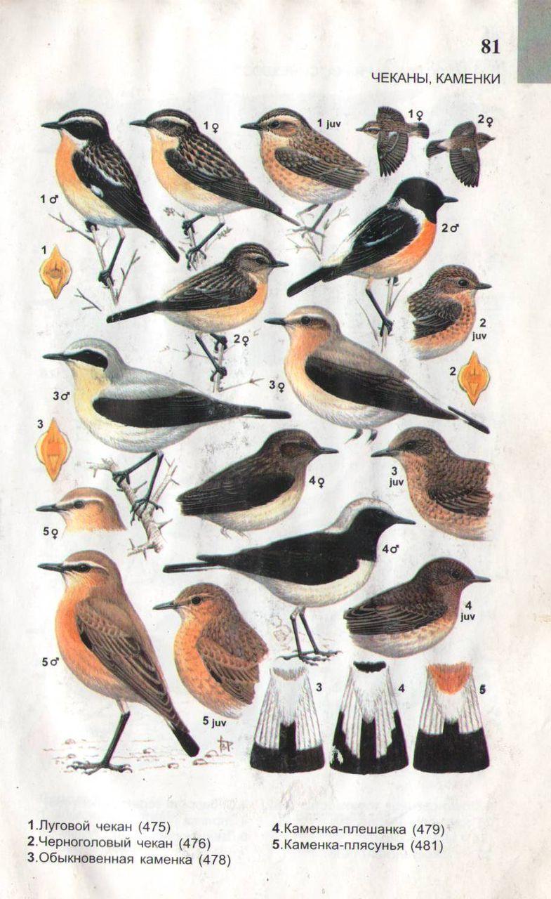 Определитель птиц в картинках