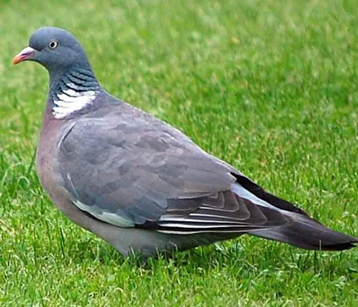 фото вяхирь голубь