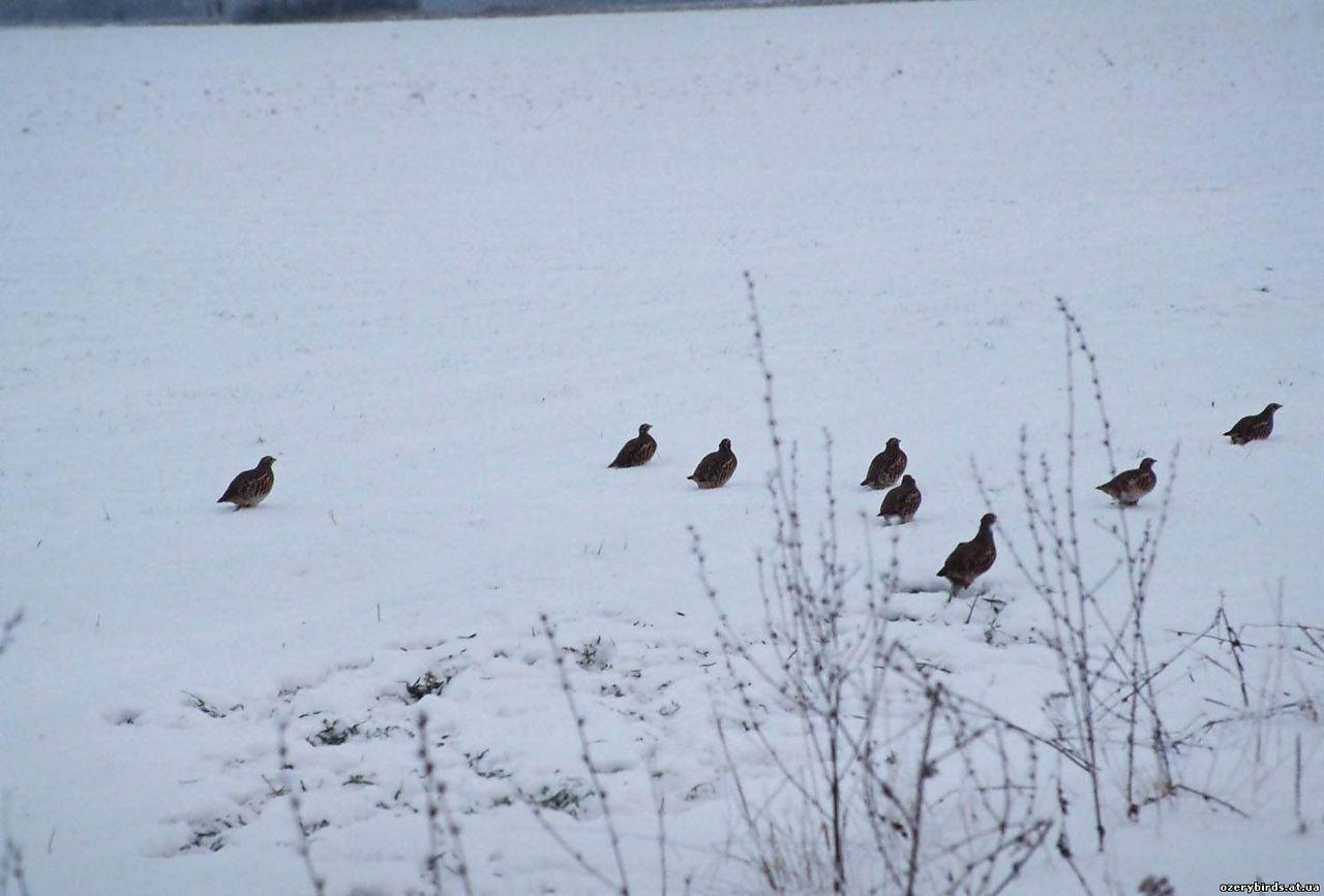 Как поймать фазана: петля для птиц, силки на зайца своими 64