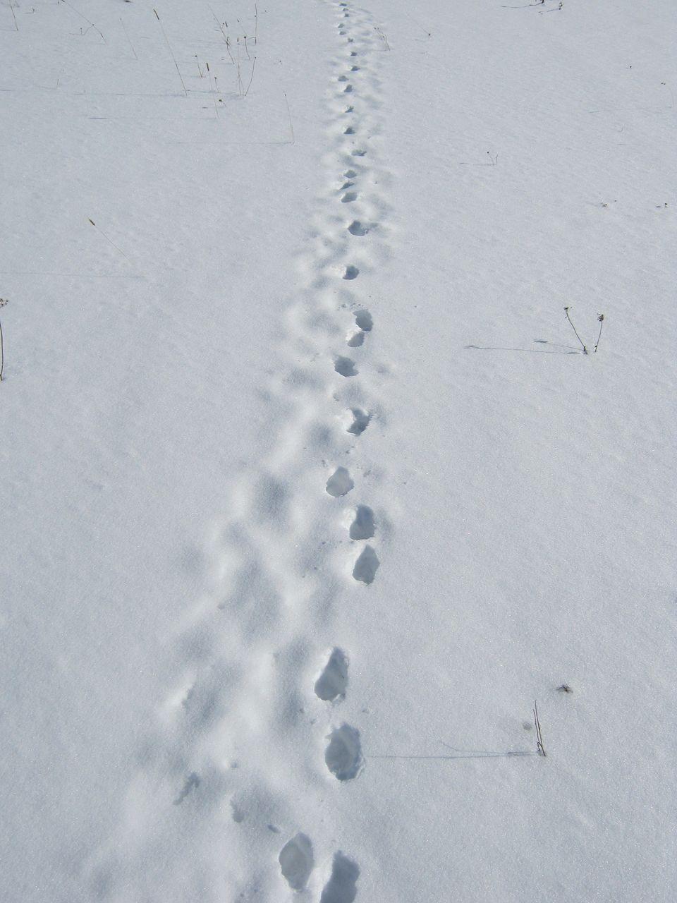 латинка красном лисьи следы на снегу фото этого можно установить