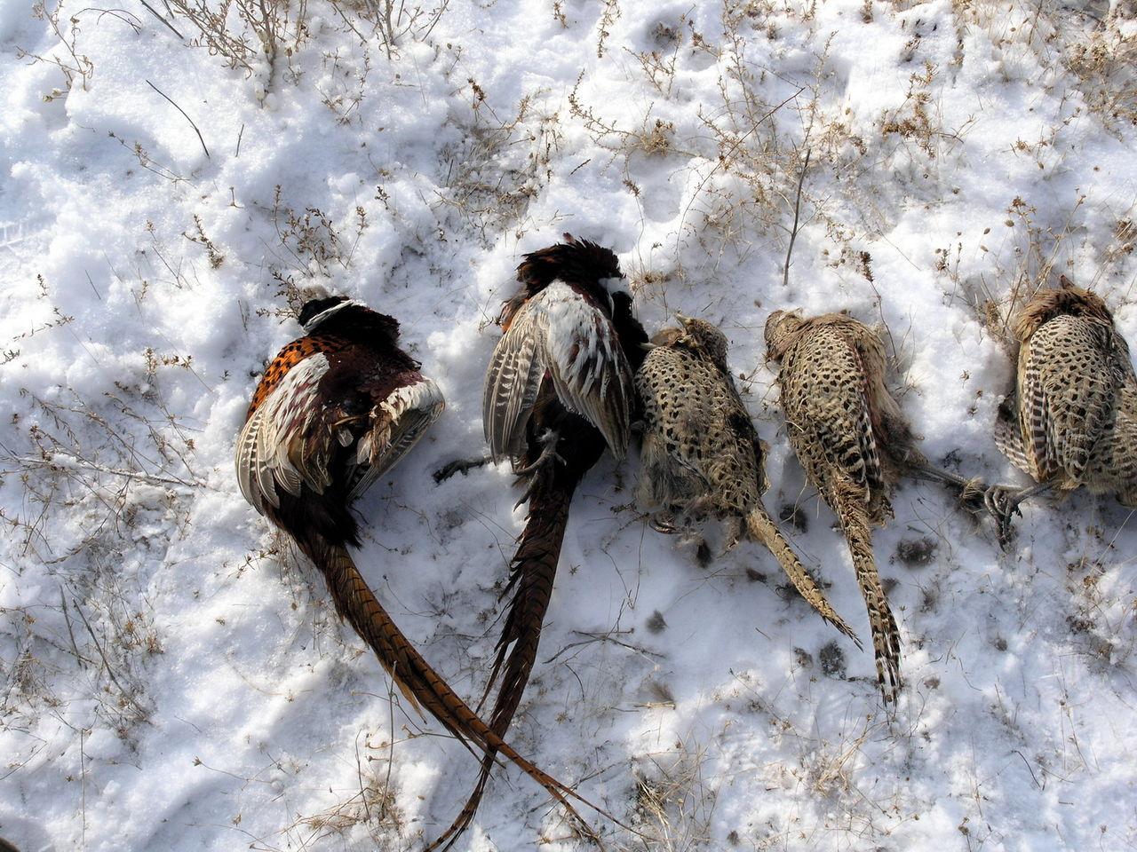 GlissadeМолодая дробь для охоты на фазана это
