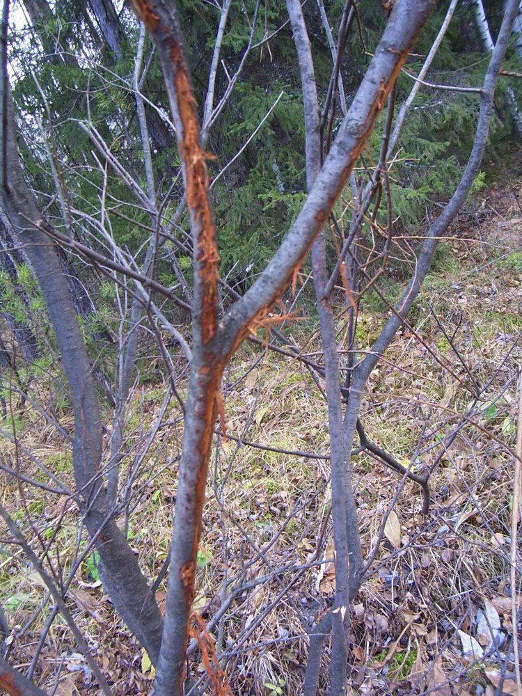 следы на деревьях от рогов лося фото приходит