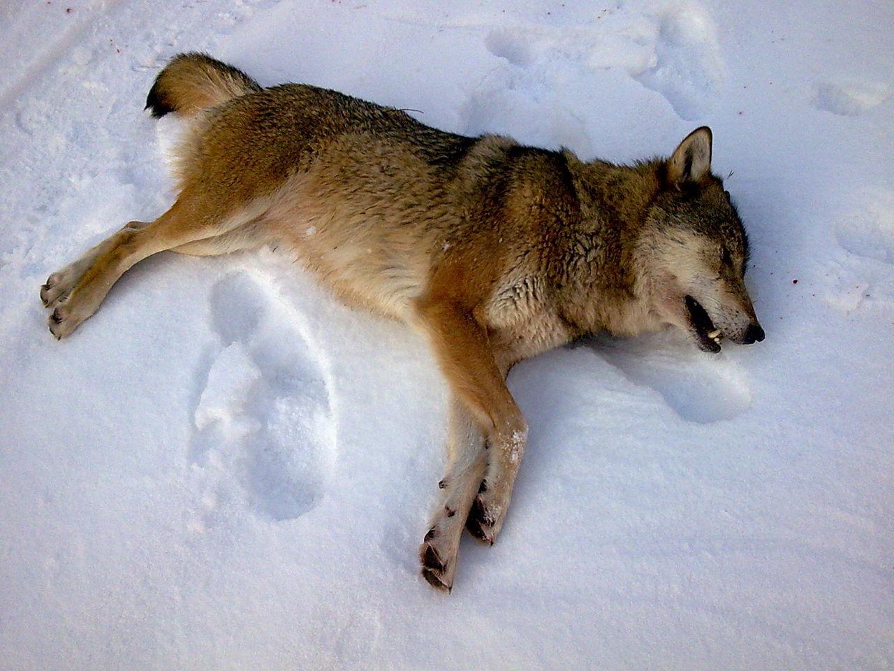картинки раненых волков меня очень простой