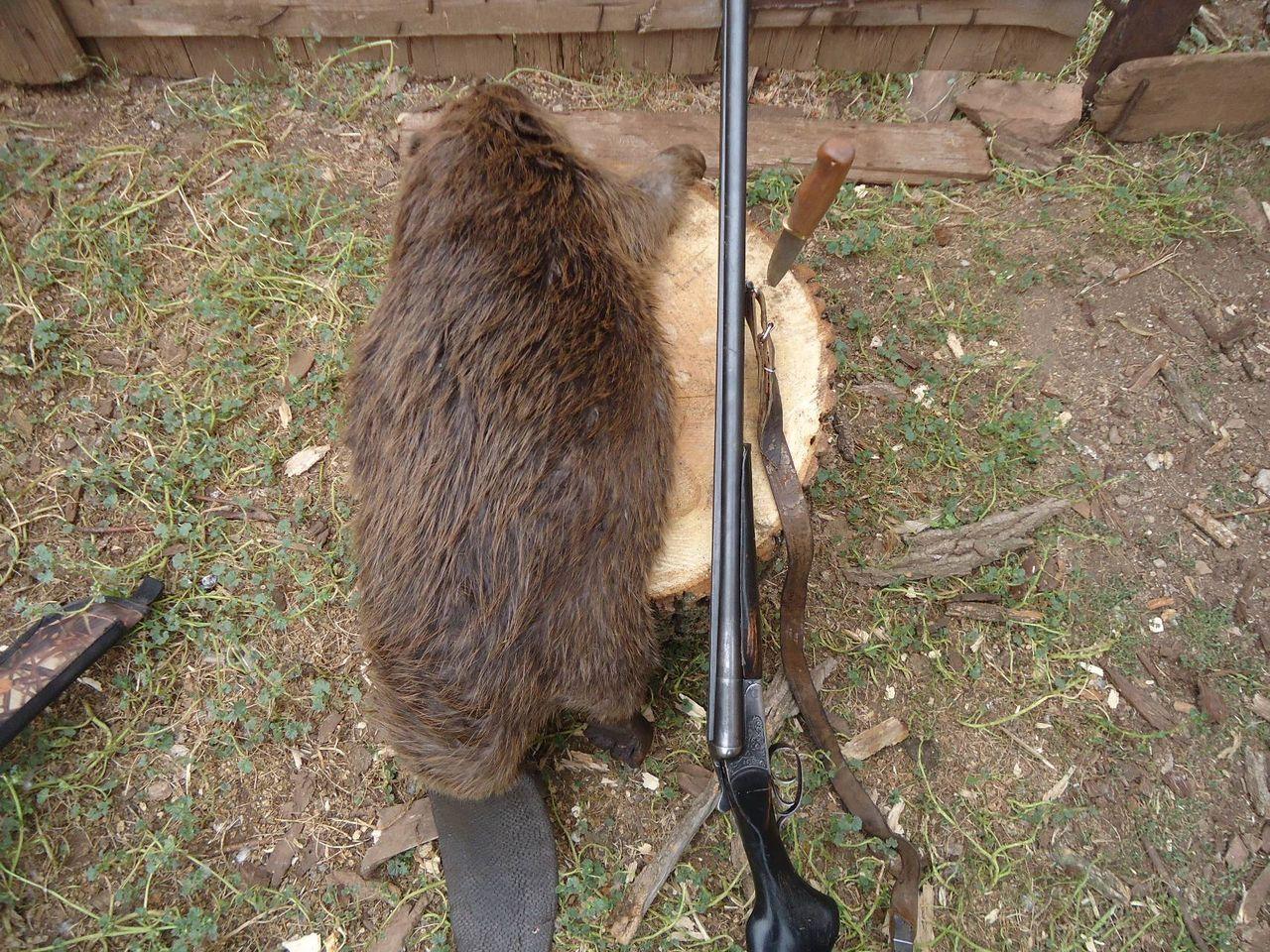 Картинки охота на бобра