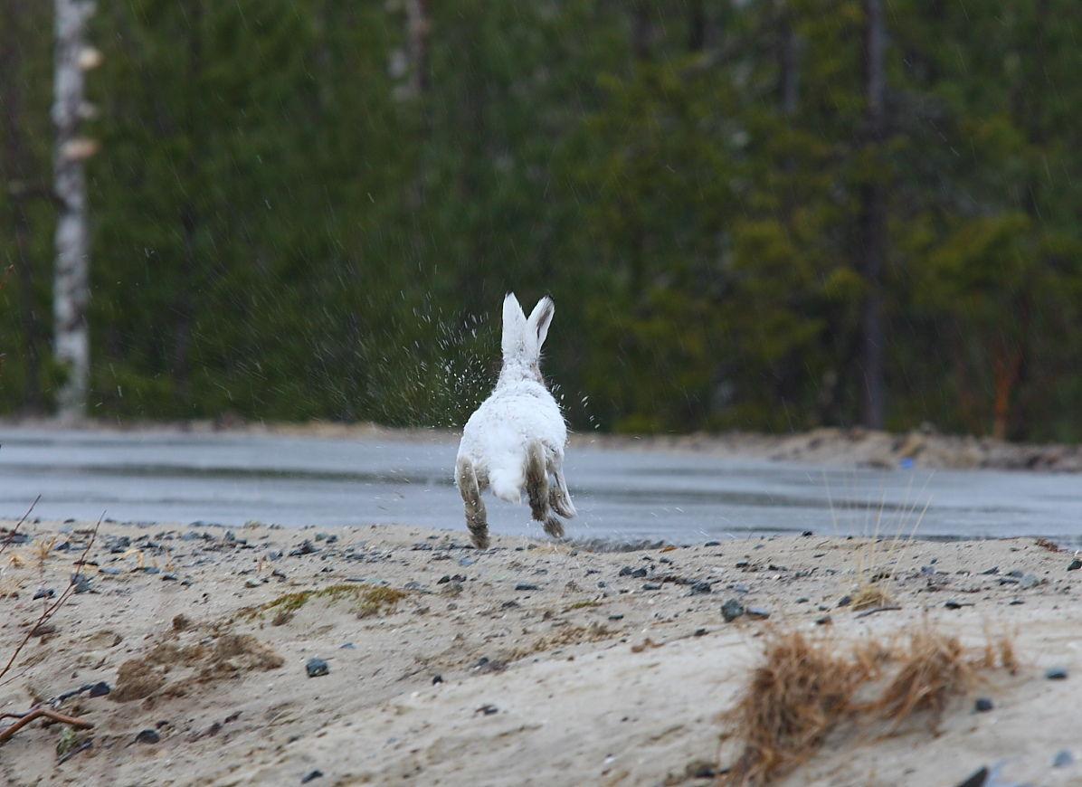 Слепота к изменениям фото с зайцем