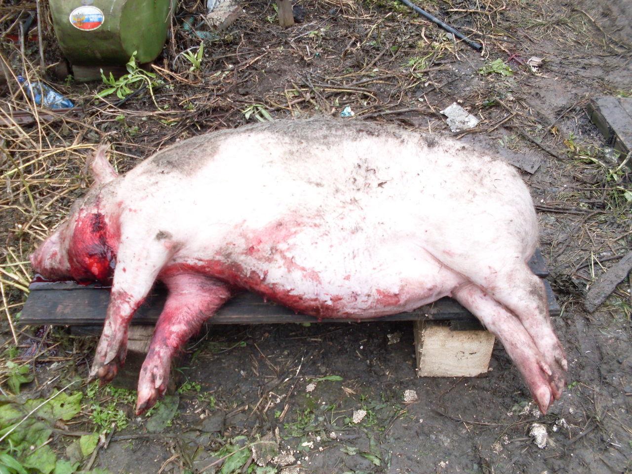 Забой вьетнамской свиньи в домашних условиях