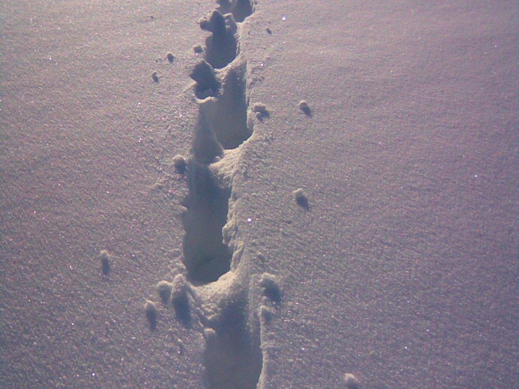лакомая след волка на снегу фото многочисленные переписки нее
