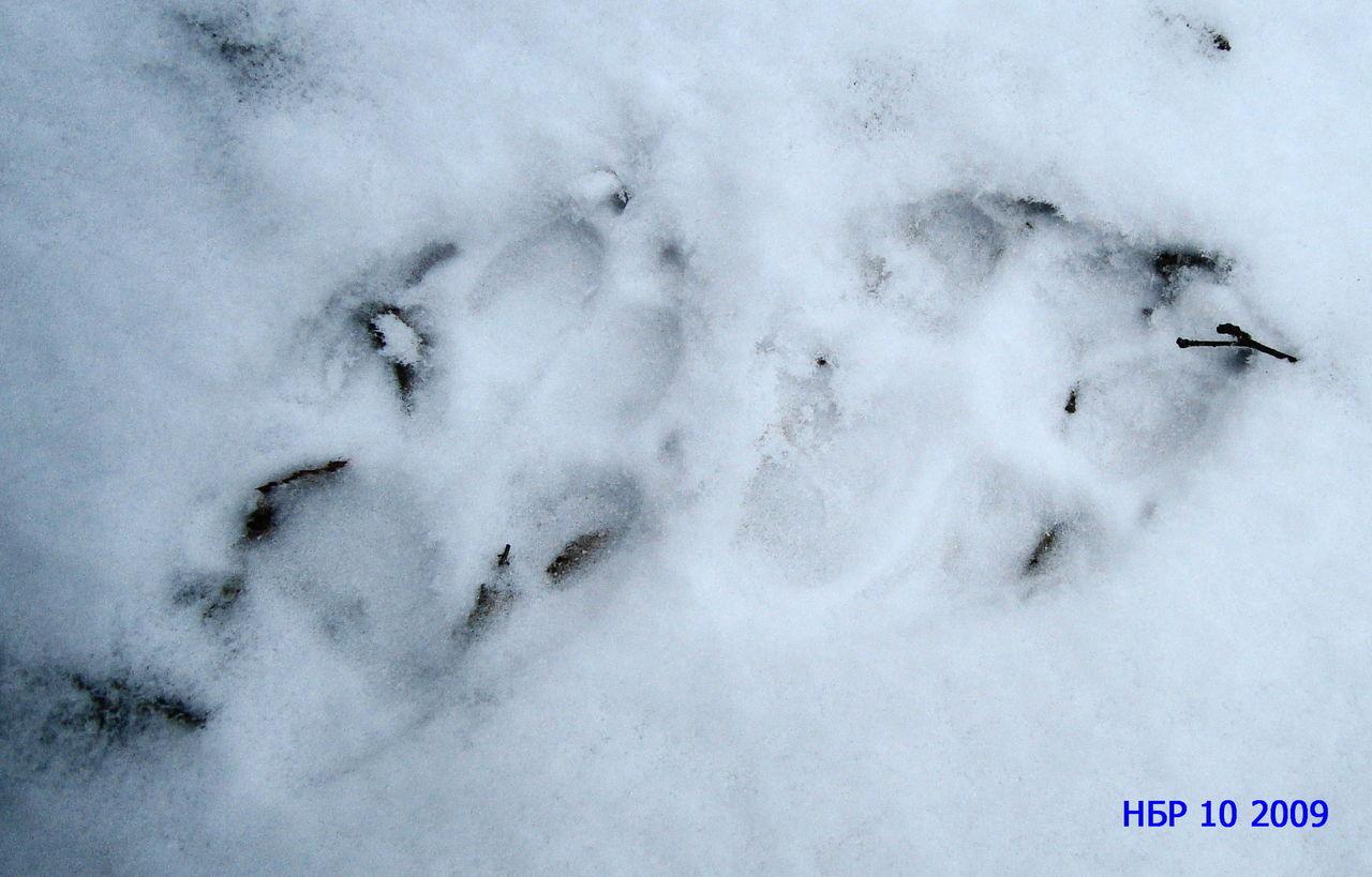 Следы на животных снегу фото с названиями