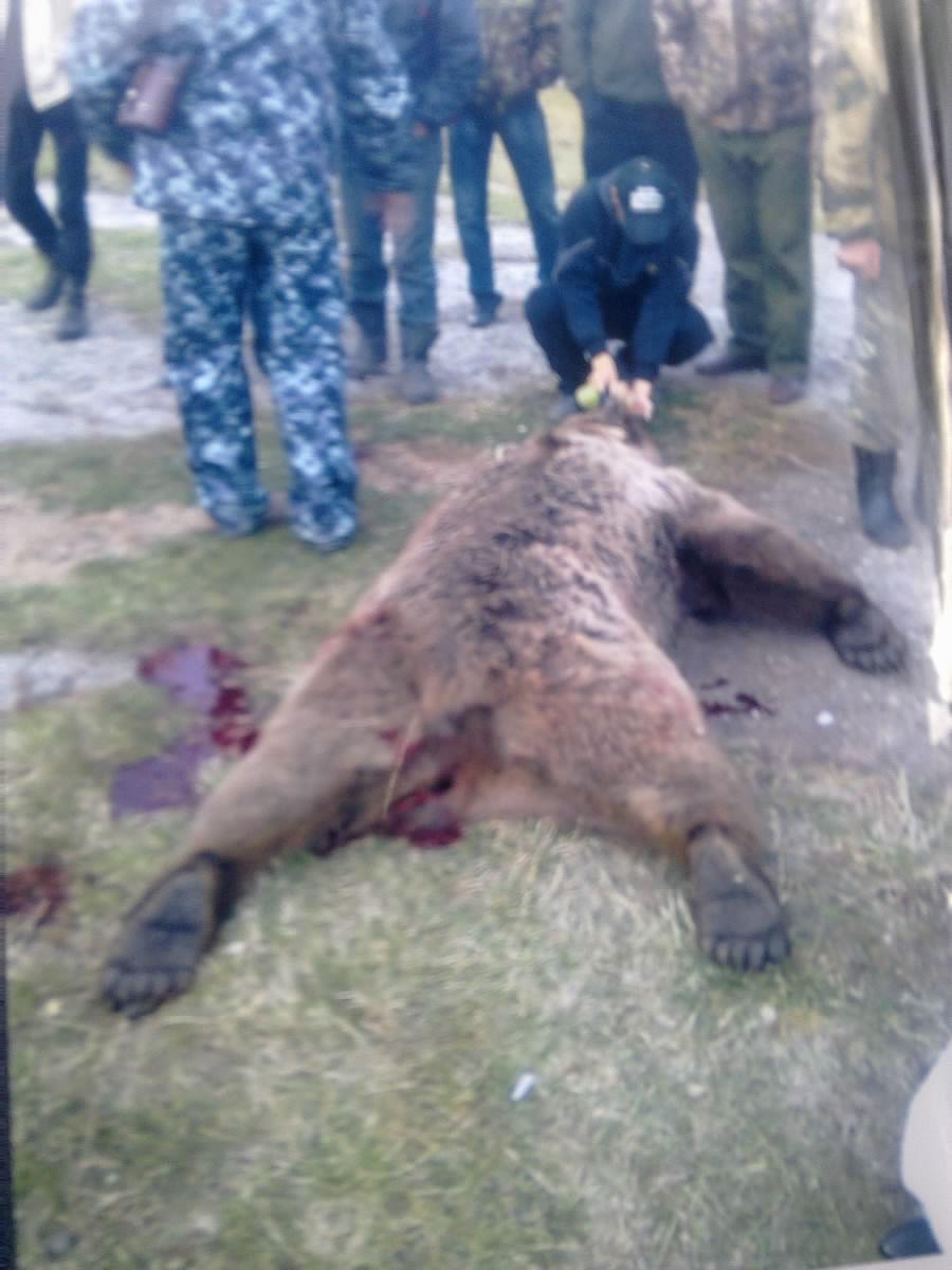 Шкура убитого медведя 14 фотография