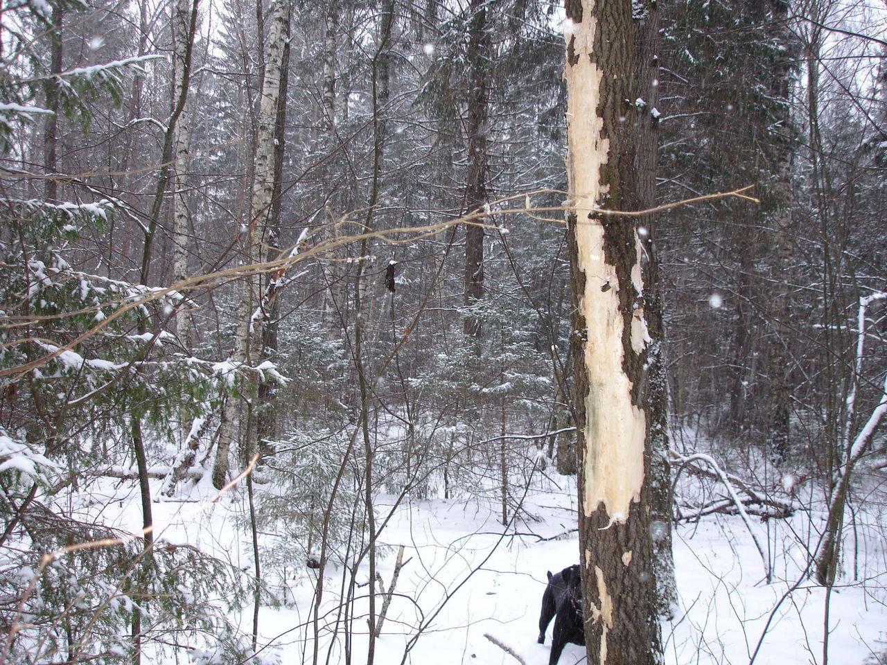 решитесь следы на деревьях от рогов лося фото фото подобные