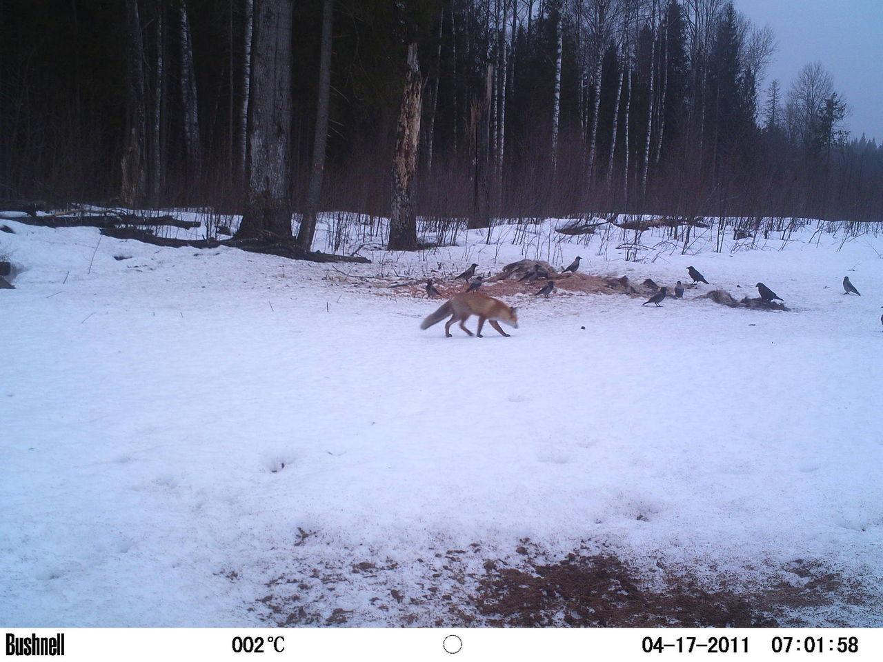 как ловят лис на капкан