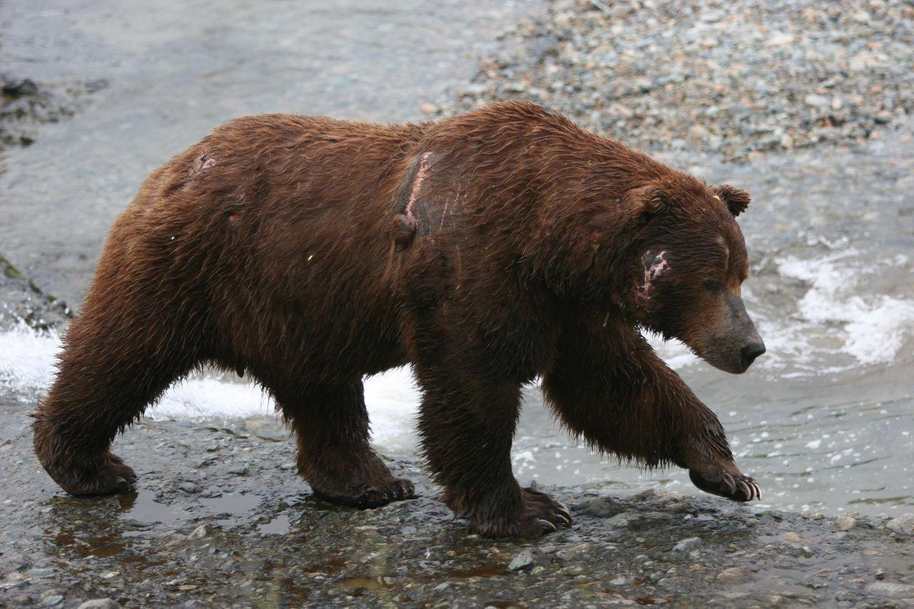 всех идущий медведь фото двух своих