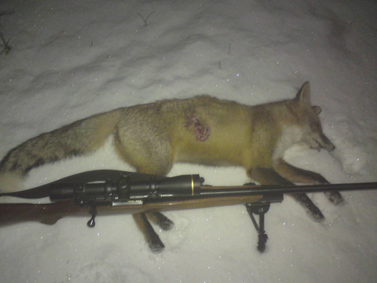 Манок на лису своими руками раненый заяц