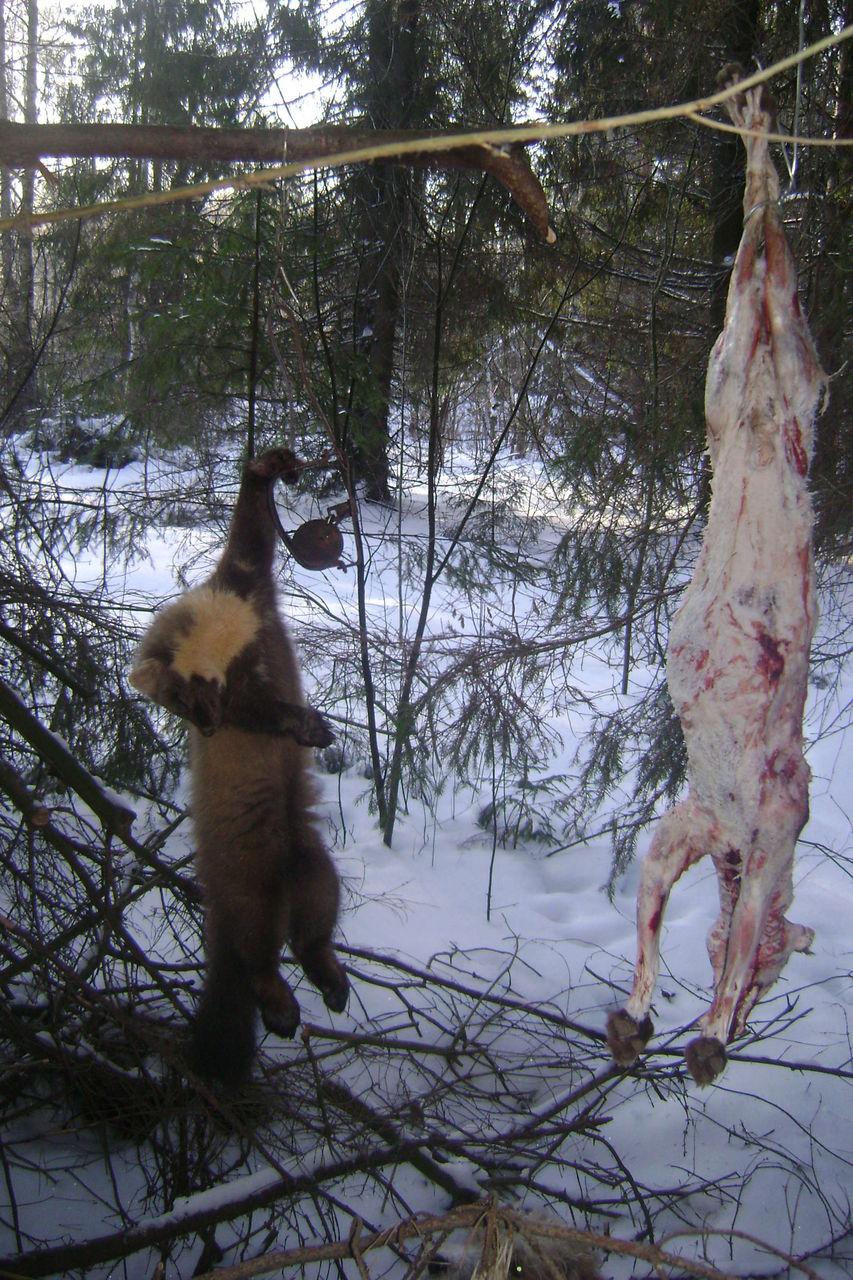 охота на куницу с приманками