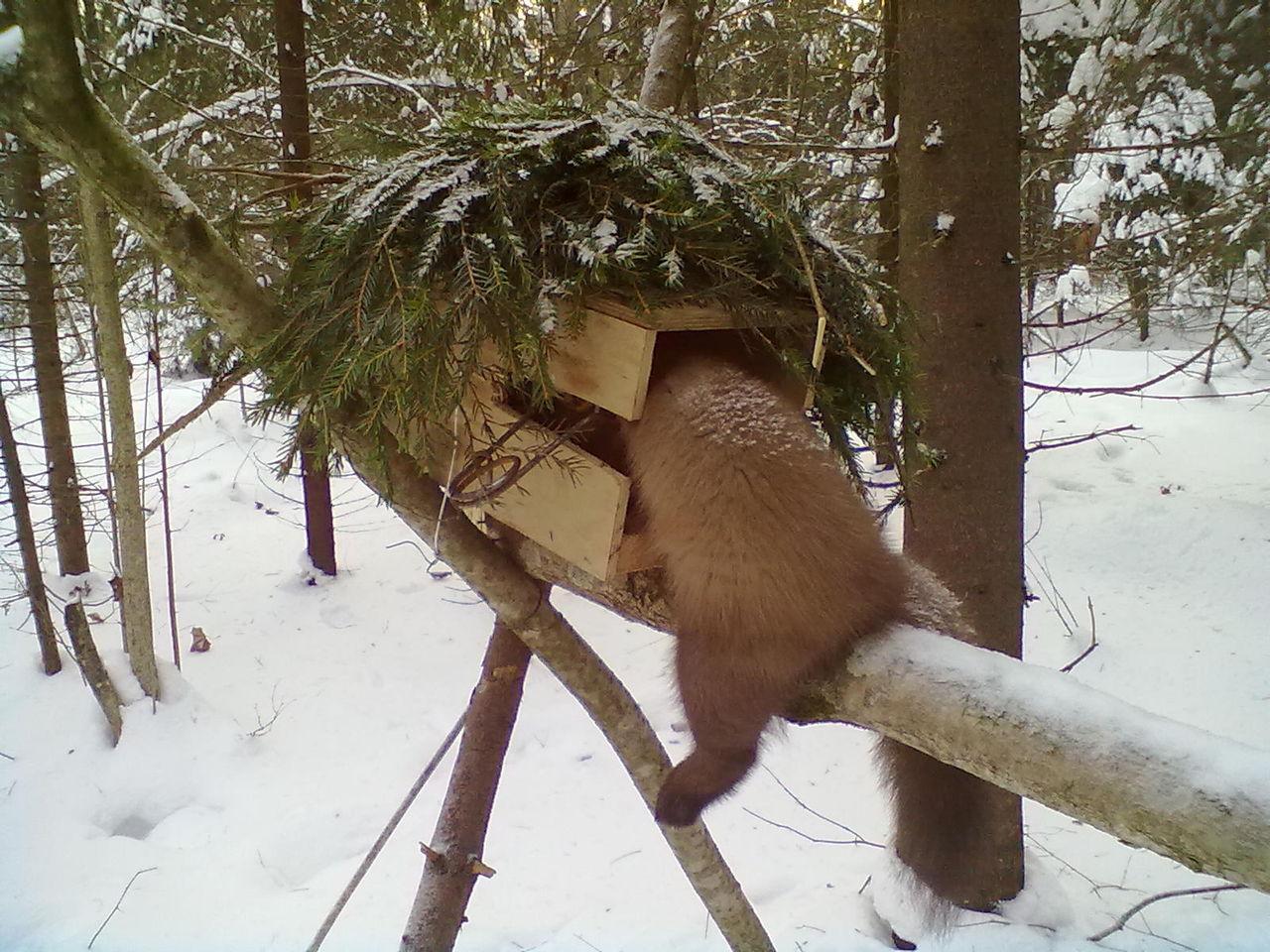как ловить куницу проходным капканом
