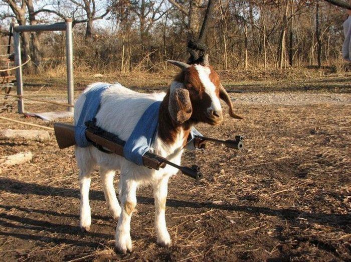 Фото коз как они ебутся фото 5-117