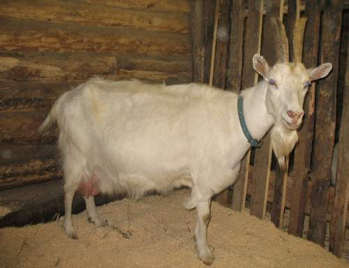 Фото коз как они ебутся фото 5-516