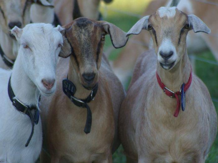 фото коз как они ебутся