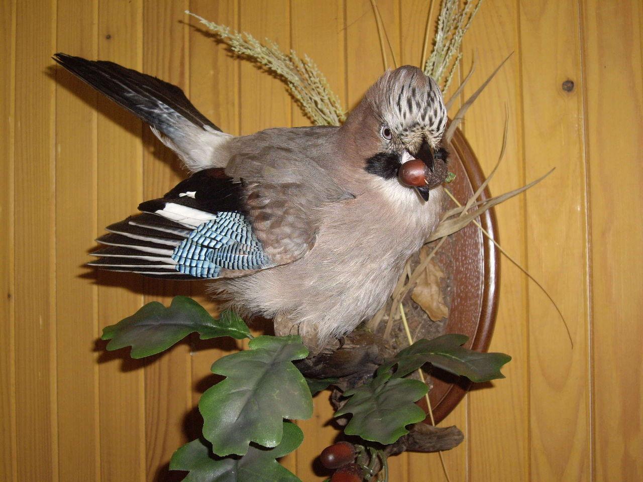 Сделать чучело птиц в домашних условиях