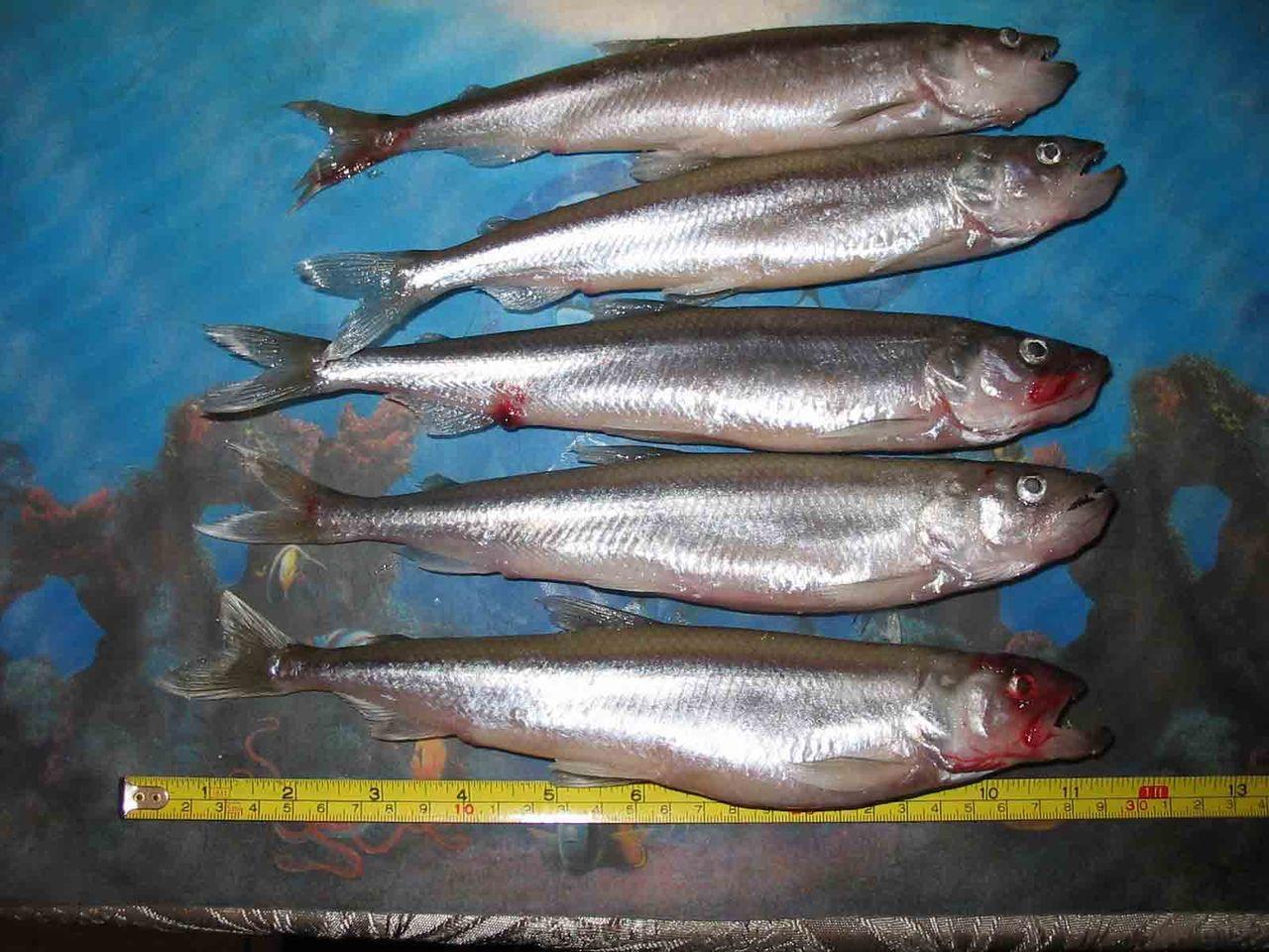 Рыбалка в зимний период рыбалка на финском заливе зимой — одно из лучших мест для подледной ловли вкуснейшей балтийской корюшки.