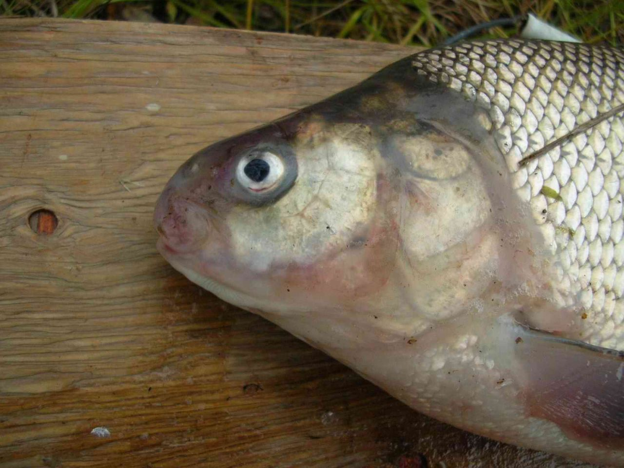 видео рыба сиг