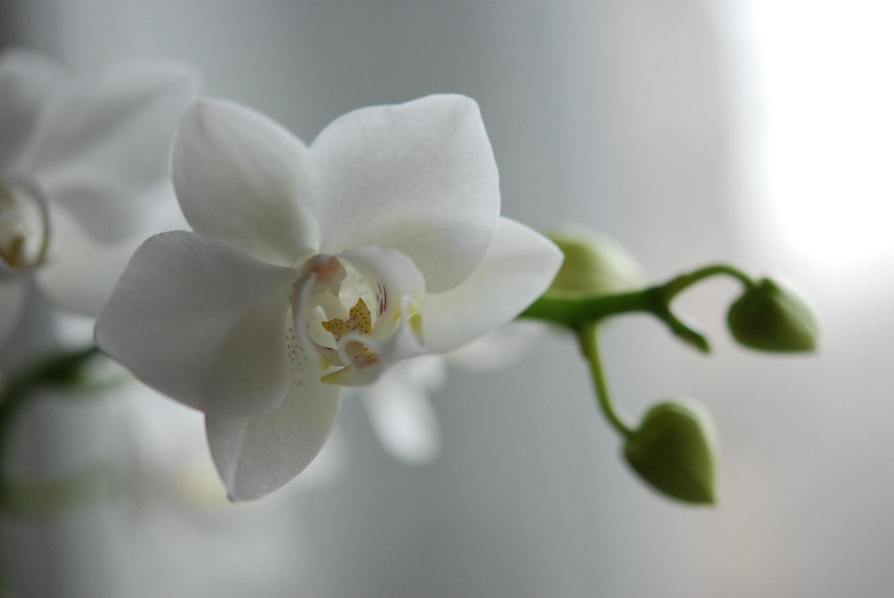 картинка белой орхидеи на сером фоне