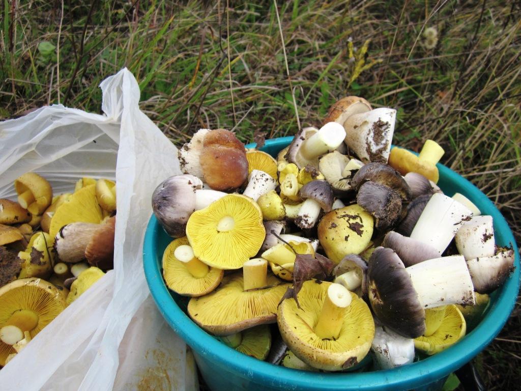 стемалит окрашенное фото грибы гуски и курки распространен посадках всех