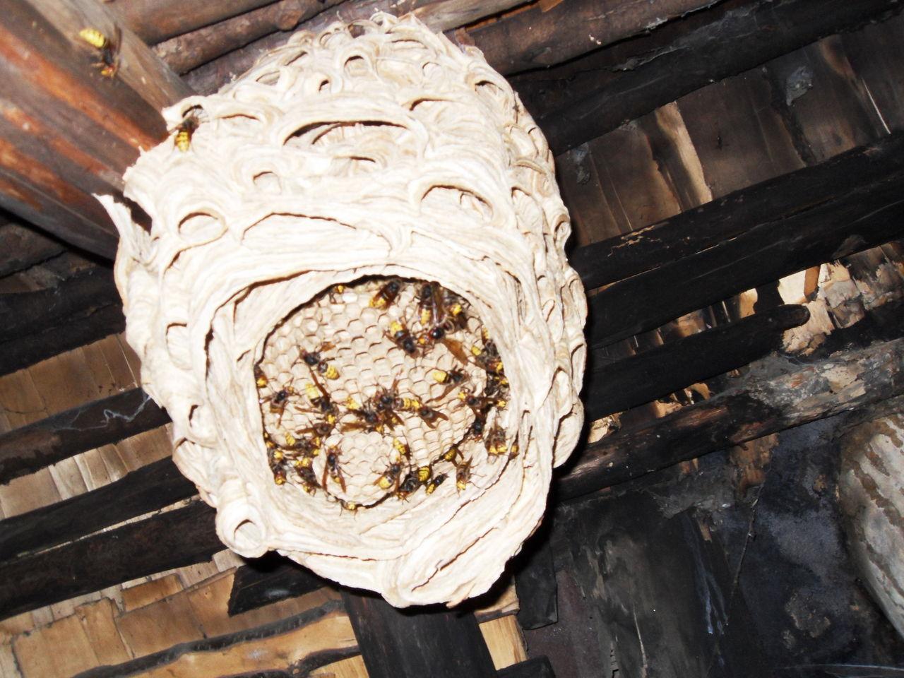Как избавиться от шершней под крышей в домашних условиях 324