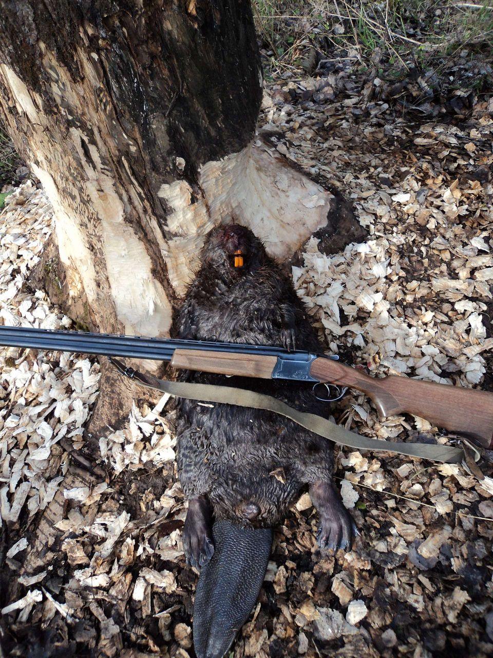 Охота на бобра с ружьем осенью разрывая плотину, я сказал сосать русское порно видео