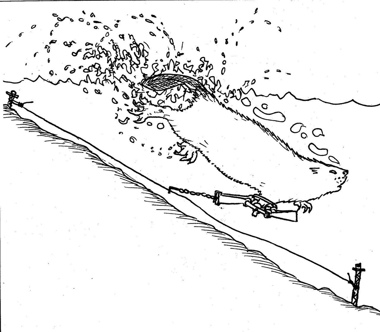 как правильно ловить бобра на капкан