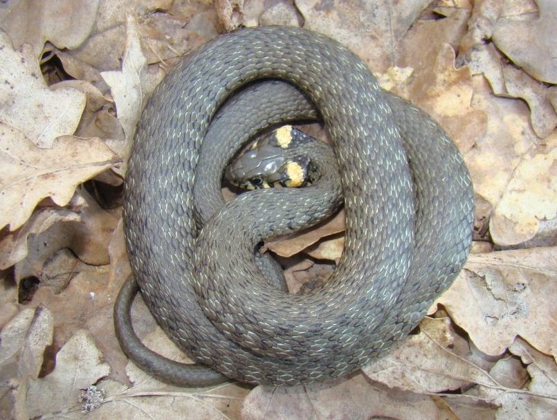Брюхо змеи фото