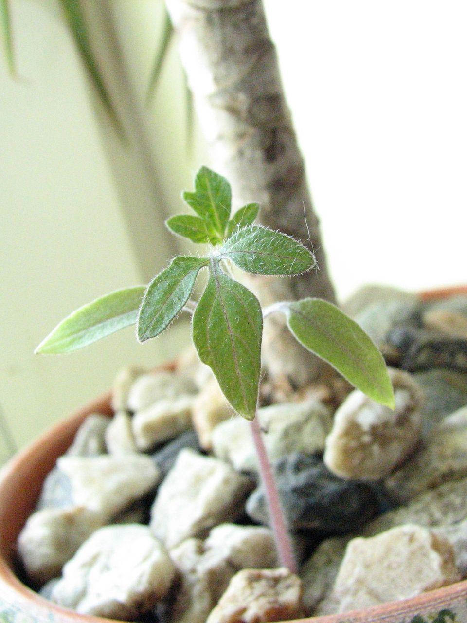 Как посадить и вырастить рамбутан из косточки в домашних 67