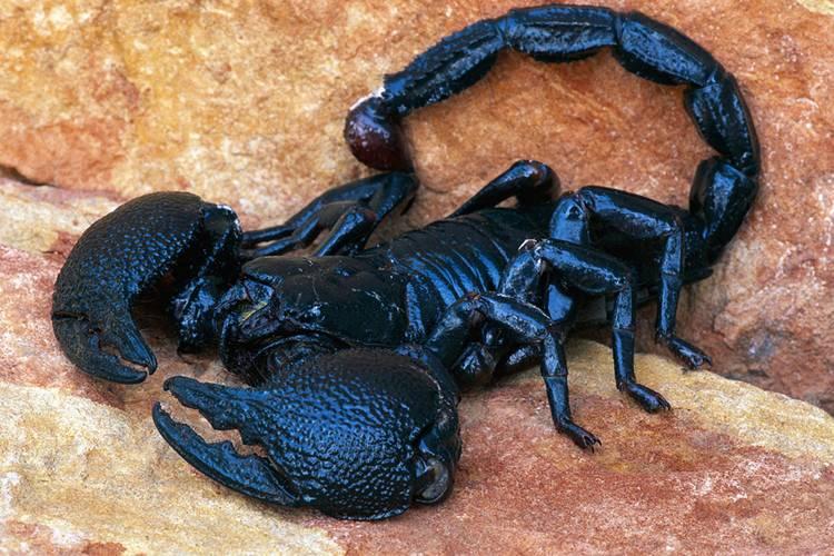 Как самому сделать скорпиона